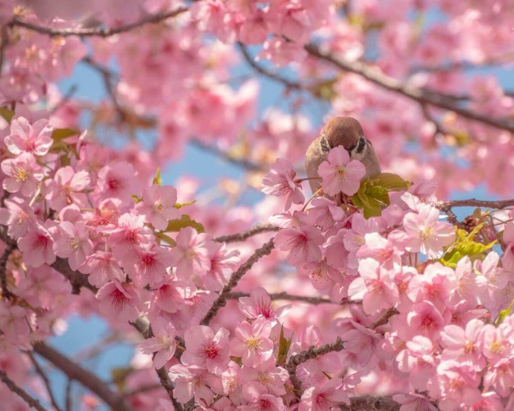 Sakura Bird